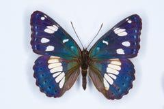 Amiral blanc du sud, papillon de reducta de Limenitis Photo libre de droits