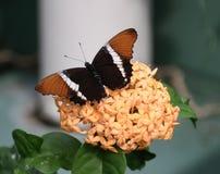 Amiral Butterfly royaltyfri bild