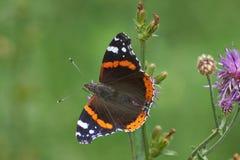 Amiral Butterfly Photographie stock libre de droits