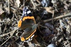 Amiral Butterfly - 02 Royaltyfri Fotografi