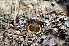 Amiral Butterfly - 02 Royaltyfria Bilder