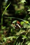 Amiral Butterfly de Lorquin sur une feuille verte Image stock
