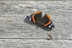 Amiral Butterfly. Butterfly sitting on a wood board Stock Photos