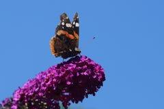 Amiral d'atalanta de Vanessa de papillon Photo stock