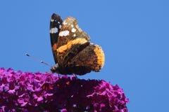 Amiral d'atalanta de Vanessa de papillon Photos stock