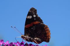 Amiral d'atalanta de Vanessa de papillon Images stock