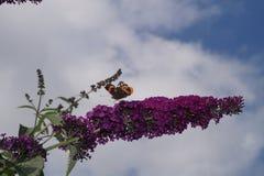 Amiral d'atalanta de Vanessa de papillon Photographie stock
