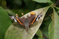 Amiral d'atalanta de Vanessa de papillon Photos libres de droits