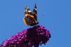 Amiral d'atalanta de Vanessa de papillon Photographie stock libre de droits