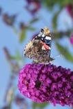 Amiral d'atalanta de Vanessa de papillon Image libre de droits