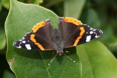 Amiral d'atalanta de Vanessa de papillon Images libres de droits