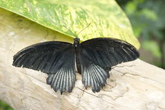 Amiral noir Butterfly Photographie stock