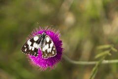 Amiral på en purpurfärgad blomma Arkivfoton