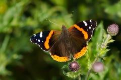 Amiral rouge Butterfly Photos libres de droits