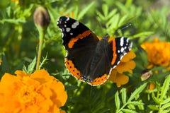 Amiral rouge Butterfly Photographie stock libre de droits