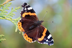 Amiral rouge Butterfly Image stock
