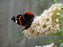 Amiral rouge Butterfly Images libres de droits