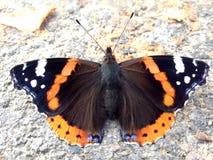 Papillon d'amiral rouge (Pologne) Photographie stock libre de droits