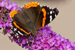 Amiral rouge Butterfly Photos libres de droits