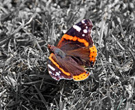 Amiral rouge Butterfly Photographie stock