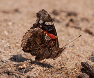 Amiral rouge Butterfly Photographie stock libre de droits