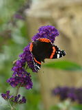 Amiral rouge Butterfly Images stock