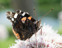 Amiral rouge Butterfly Photo stock
