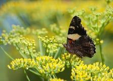 Amiral rouge Butterfly Image libre de droits
