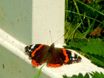 Amiral rouge Butterfly Images libres de droits