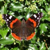 Amiral rouge Butterfly Photo libre de droits