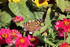 Amiral rouge Butterfly On Flowers Image stock