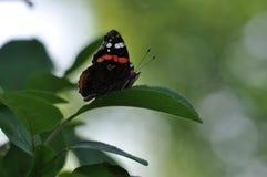 Amiral rouge Butterfly sur la feuille de cerise Photo stock