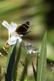Amiral rouge Butterfly sur la fleur blanche Photographie stock