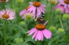 Amiral rouge Butterfly sur la fleur rose d'echinacea Images libres de droits