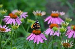 Amiral rouge Butterfly sur la fleur rose d'echinacea Photographie stock libre de droits