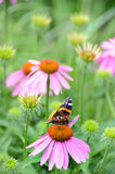 Amiral rouge Butterfly sur la fleur rose d'echinacea Photo stock