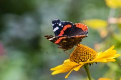 Amiral rouge Butterfly sur le tournesol faux Photo stock