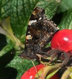 Amiral rouge butterly Photos stock