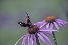 Amiral rouge d'atalanta de Vanessa de papillon Images libres de droits