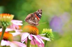 Amiral rouge de beau papillon sur la fleur rose Photos libres de droits