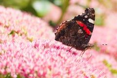 Amiral rouge de guindineau sur des fleurs de sedum Image libre de droits