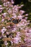 Amiral rouge de papillon anglais sur la bruyère Photographie stock libre de droits