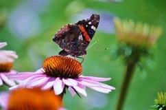Amiral rouge de papillon dans le jardin Photos libres de droits