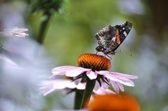 Amiral rouge de papillon dans le jardin Image stock