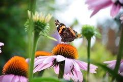 Amiral rouge de papillon parmi des fleurs Photos libres de droits