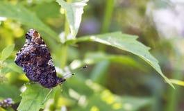 Amiral rouge de papillon s'asseyant sur la feuille verte Papillon d'atalanta de Vanessa, vue de côté Photos stock