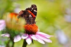Amiral rouge de papillon sur la fleur rose Photo libre de droits
