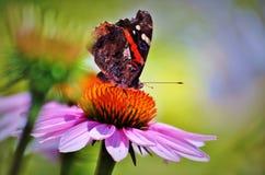 Amiral rouge de papillon sur la fleur rose Couleurs vives Images libres de droits