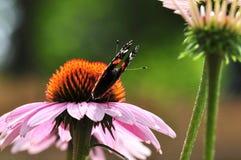Amiral rouge de papillon sur le coneflower Image libre de droits