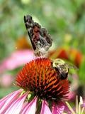 Amiral rouge et abeille de lac toronto sur un coneflower pourpre 2017 Photo libre de droits